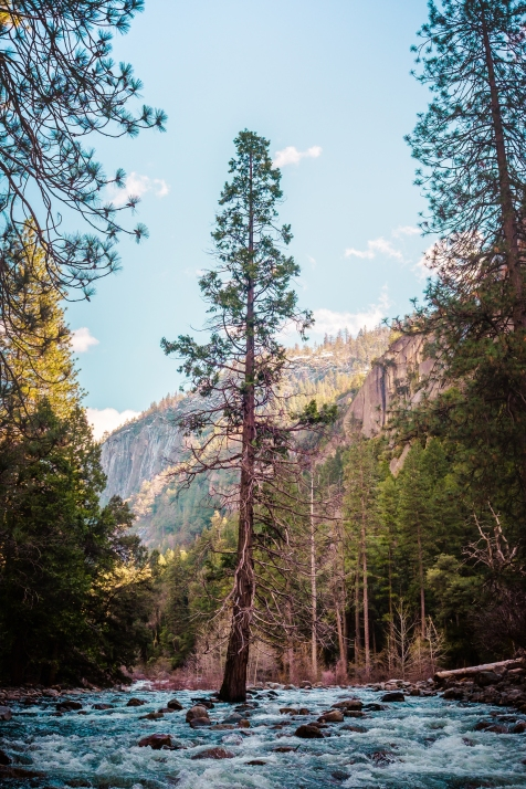 Yosemite Canyon - tree